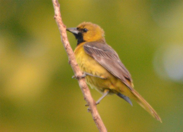 Orchard Oriole 2017-15