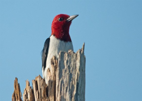 Red Headed Woodpecker 2017-35