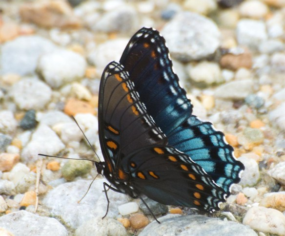 Red Spotted Purple 11