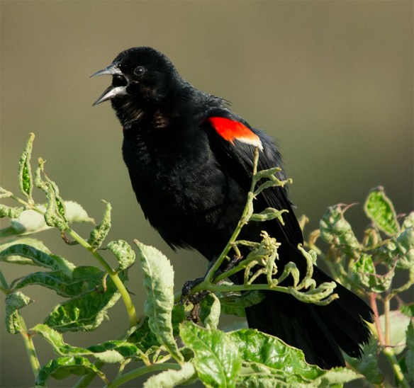 Red Winged Blackbird 2017-82