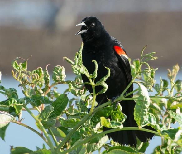 Red Winged Blackbird 2017-84