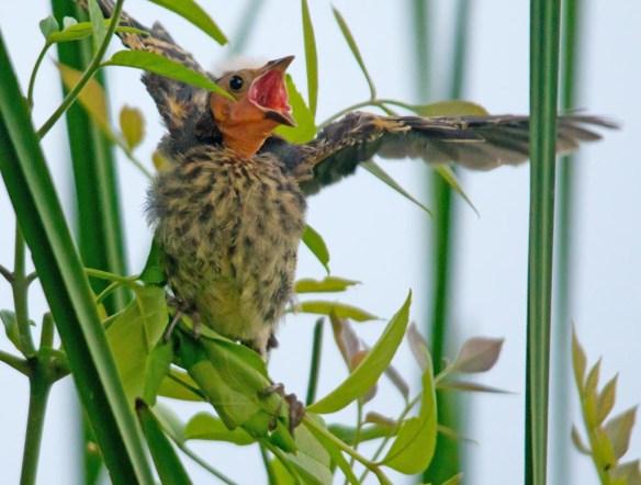 Red Winged Blackbird 2017-90