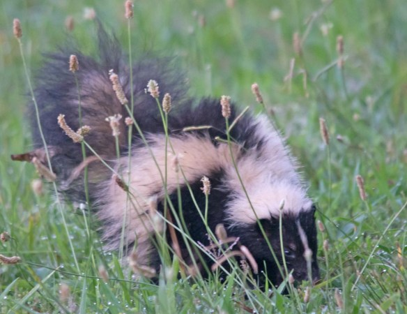 Skunk 4