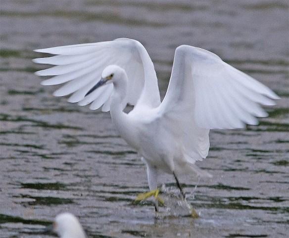 Snowy Egret 2017-33