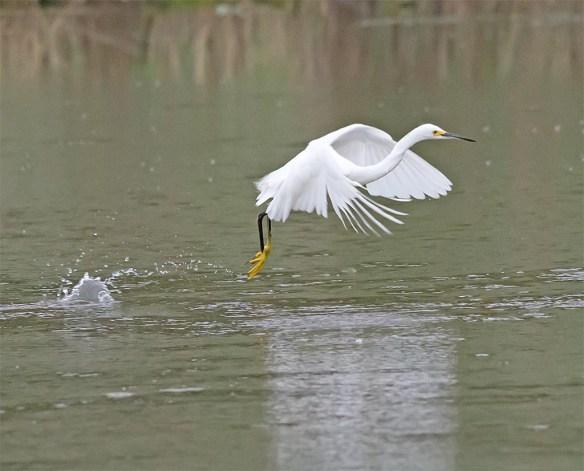 Snowy Egret 2017-36
