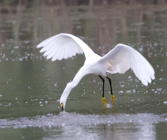 Snowy Egret 2017-39