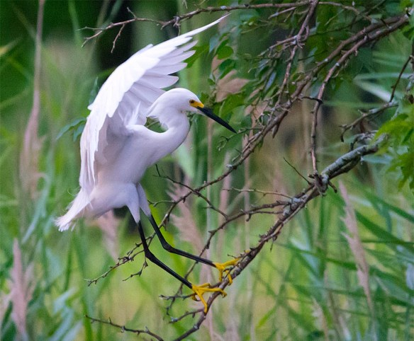 Snowy Egret 2017-40
