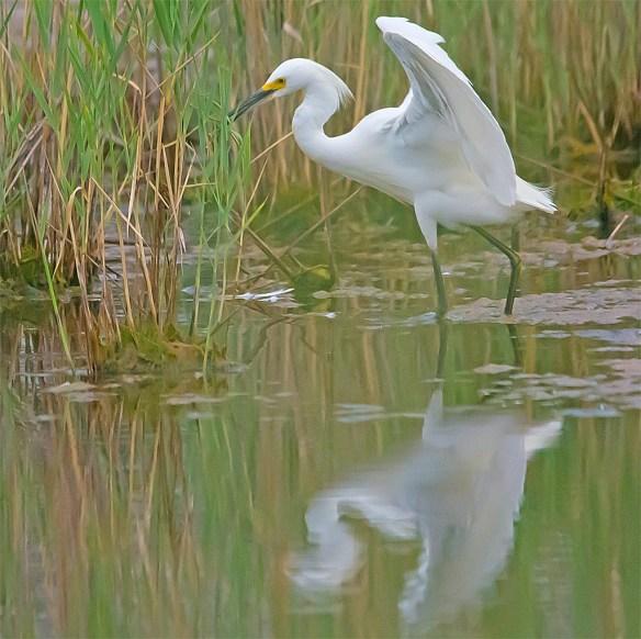 Snowy Egret 2017-42