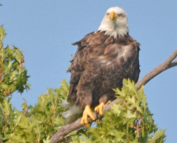 Bald Eagle 2017-154