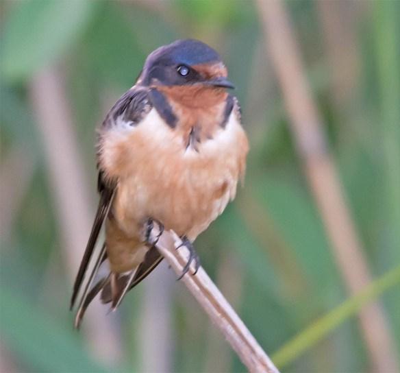 Barn Swallow 2017-30