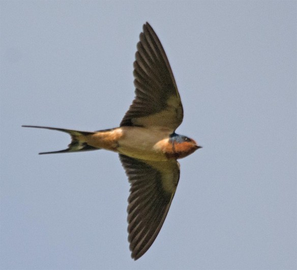 Barn Swallow 2017-34