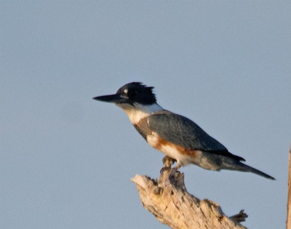 Belted Kingfisher 2017-5