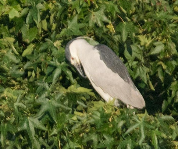 Black Crowned Night Heron 2017-