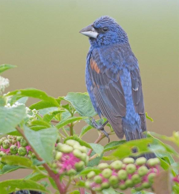 Blue Grosbeak 2017-8