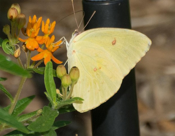 Butterfly 59