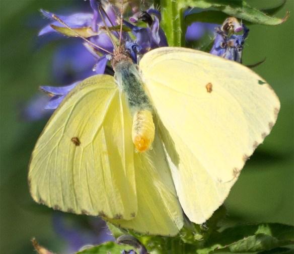 Butterfly 60