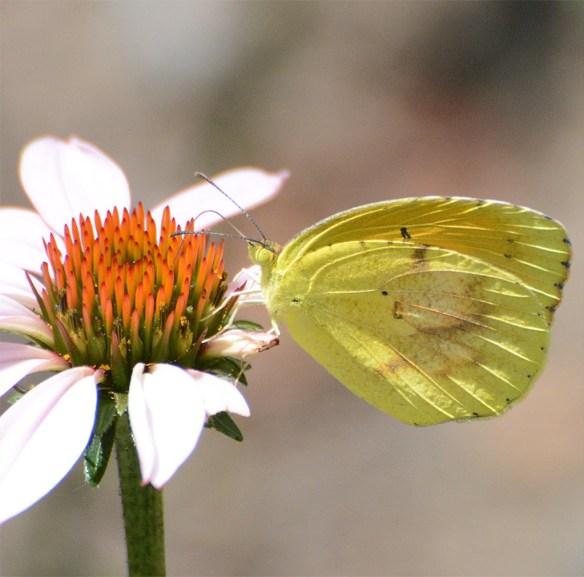 Butterfly 61