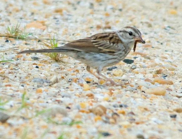 Chipping Sparrow 2017-5