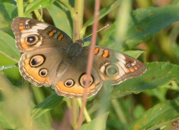 Common Buckeye 16