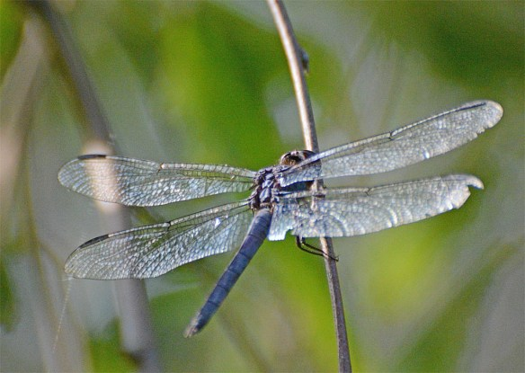 Dragonfly 104