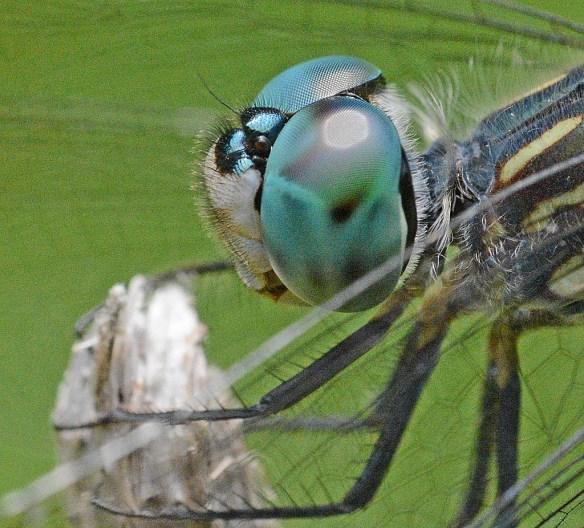Dragonfly 107