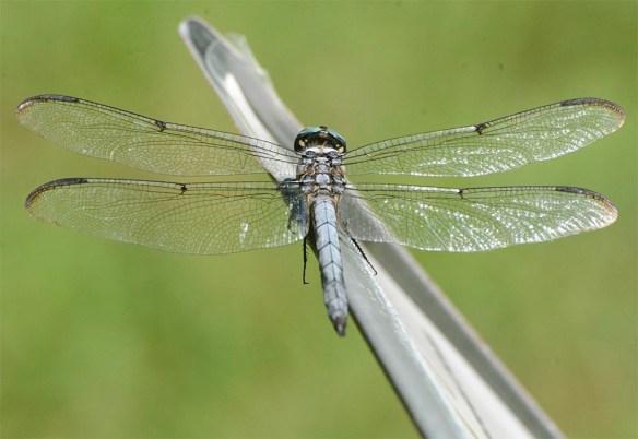 Dragonfly 112