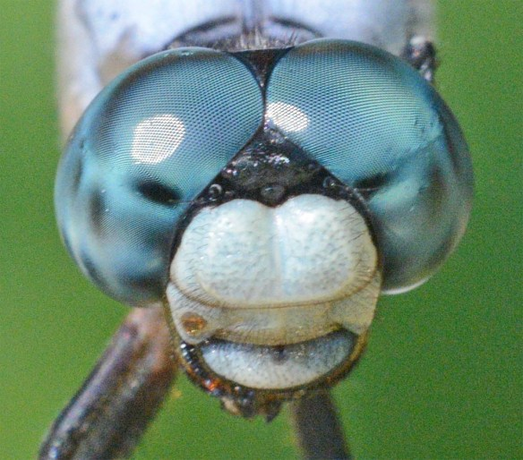 Dragonfly 113