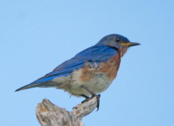 Eastern Bluebird 2017-12