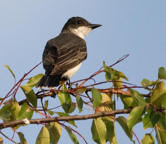 Eastern Kingbird 2017-23