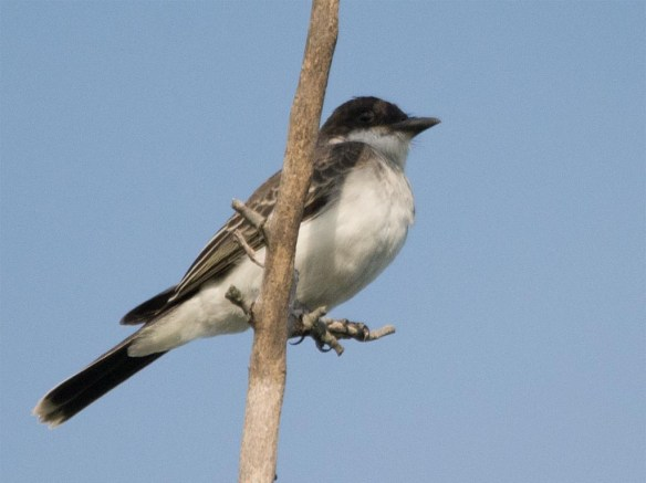 Eastern Kingbird 2017-25