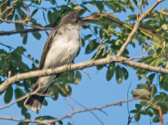Eastern Kingbird 2017-33