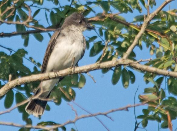 Eastern Kingbird 2017-33