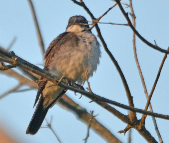 Eastern Kingbird 2017-35