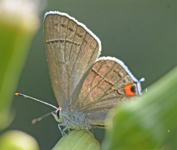 Eastern Tailed-Blue Butterfly 6