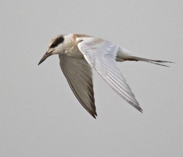 Forster's Tern 2017-60