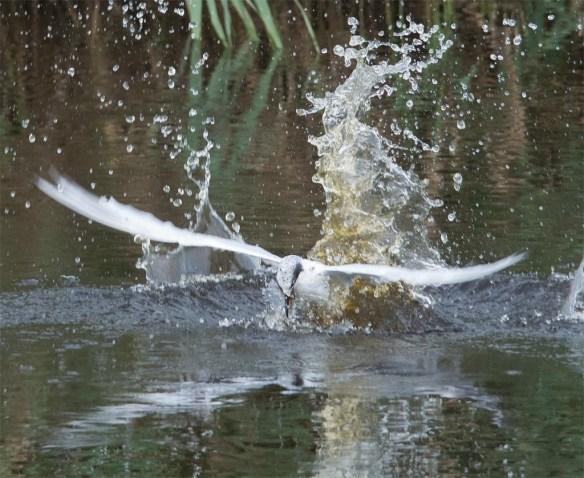 Forster's Tern 2017-87
