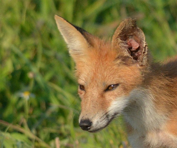 Fox 76