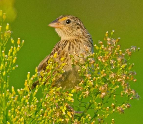 Grasshopper Sparrow 2017-8