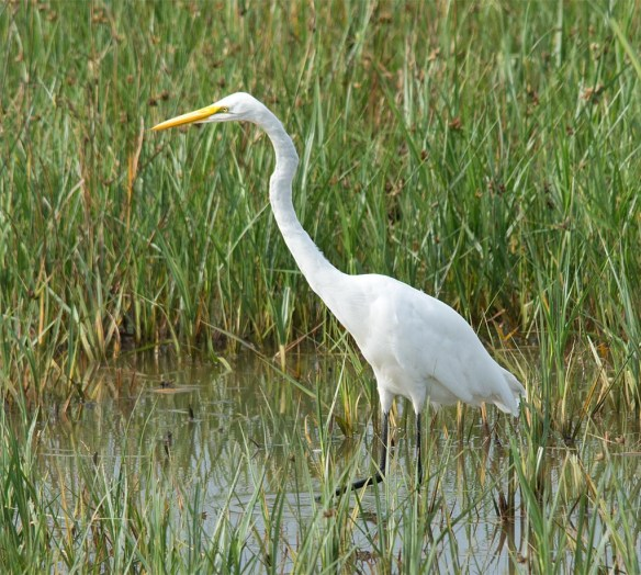 Great Egret 2017-100