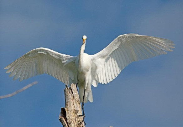 Great Egret 2017-116