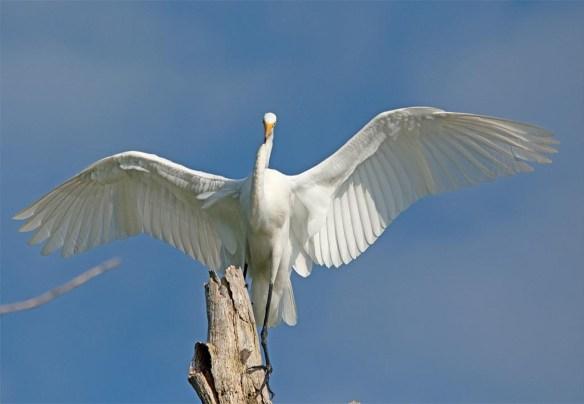 Great Egret 2017-116