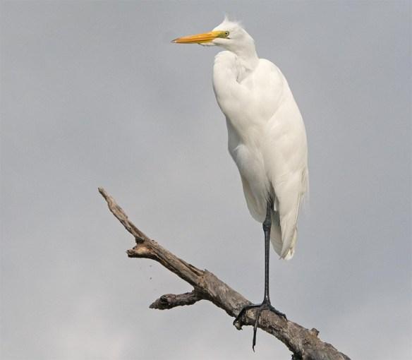 Great Egret 2017-124