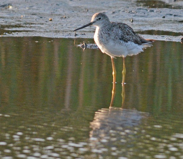 Greater Yellowlegs 2017-28