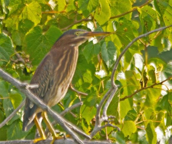 Green Heron 2017-26