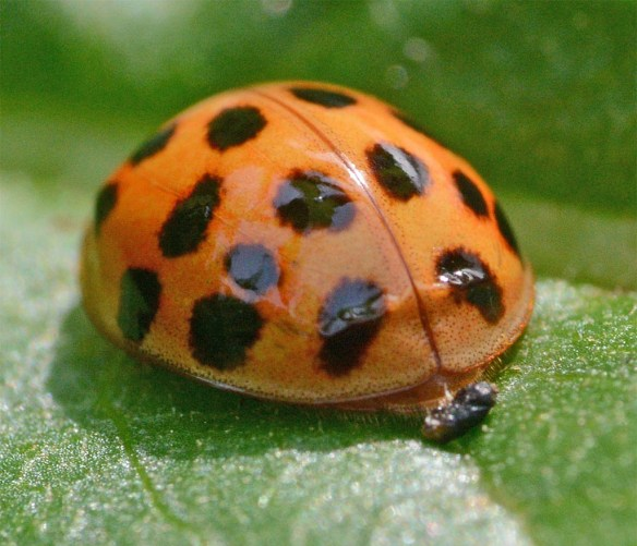 Ladybug 54
