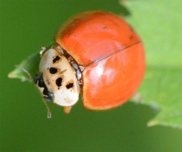 Ladybug 55