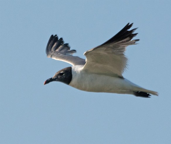 Laughing Gull 2017-5