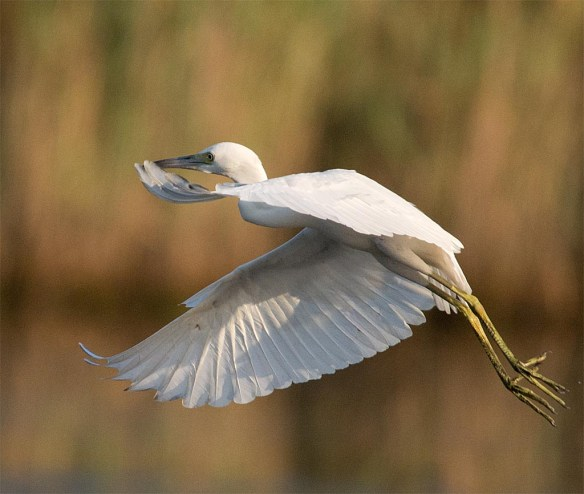 Little Blue Heron 2017-6