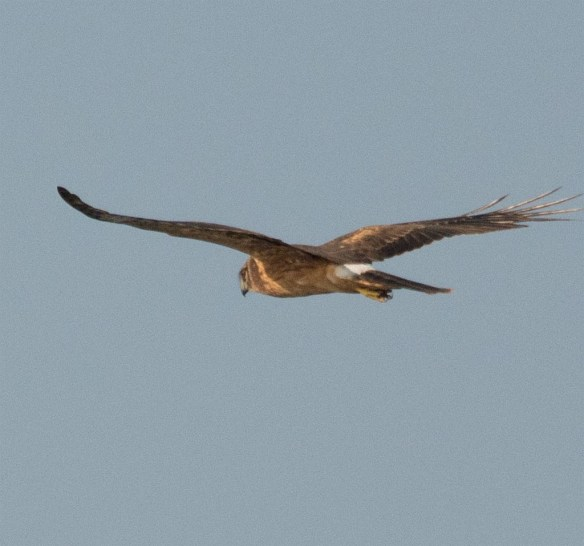Northern Harrier 2017-11