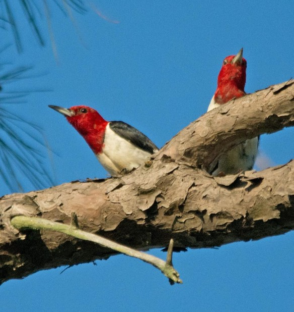 Red Headed Woodpecker 2017-63 - Copy